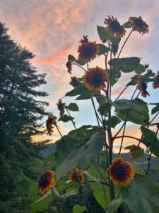 SUNFLOWERS | Red Oak Recovery